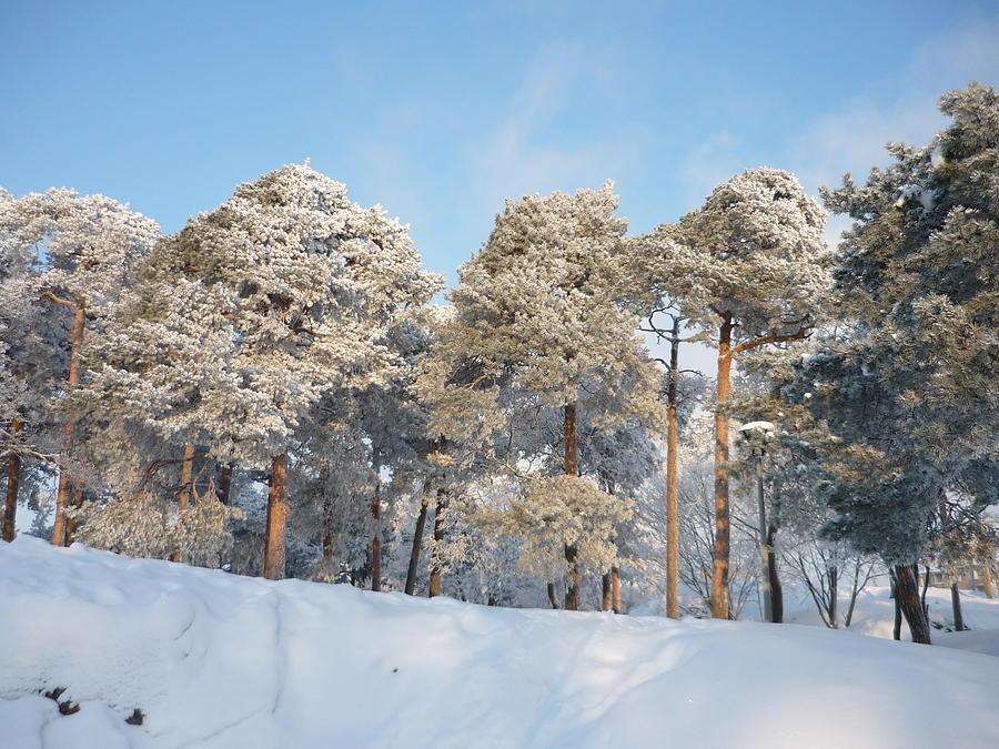 Pines Photograph - Pines by AK Art