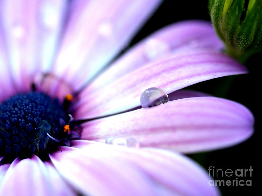 pink african daisy flower with water droplet . r photograph by, Beautiful flower