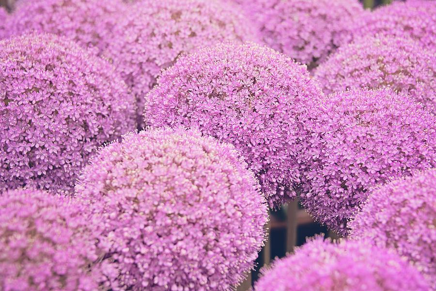 Pink allium twinkling stars flowers allium giganteum photograph by allium giganteum photograph pink allium twinkling stars flowers allium giganteum by monika tymanowska mightylinksfo
