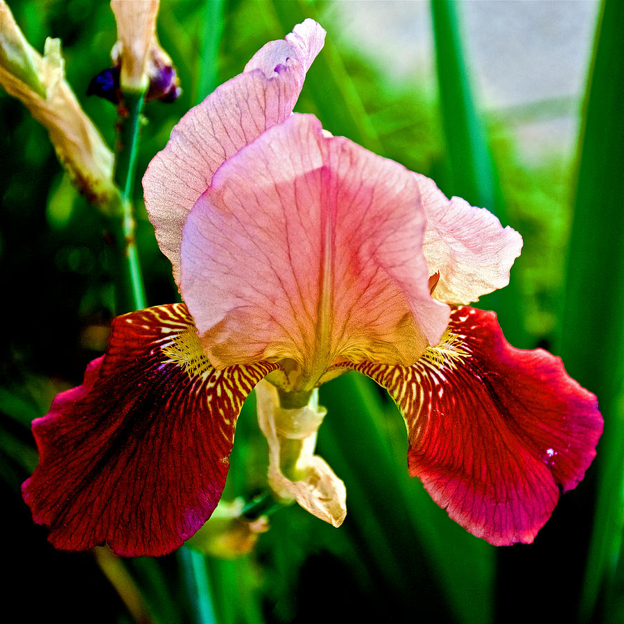 Pink And Burgundy Red Iris At Pilgrim Place In Claremont California