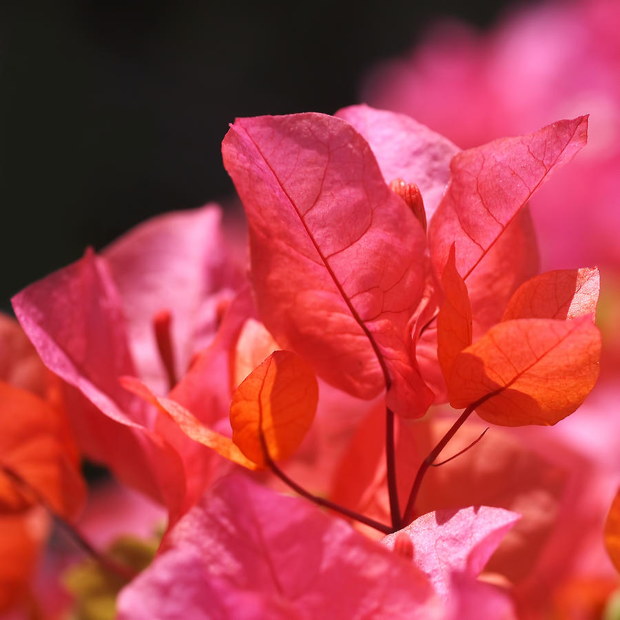 Pink And Orange Bougainvillea Square Photograph By Rona Black