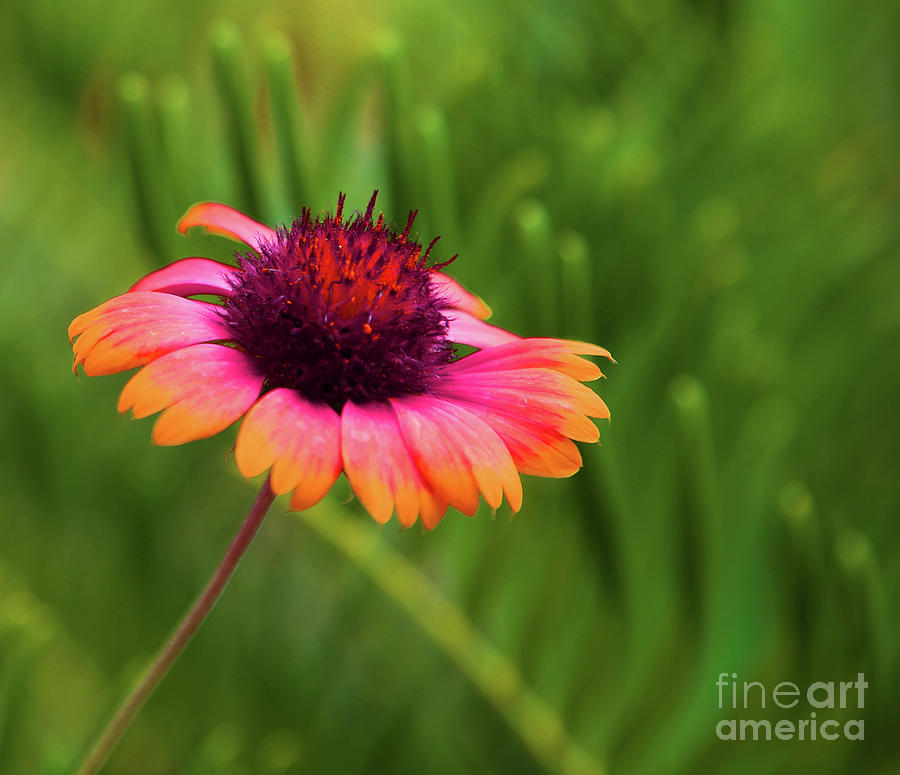 Floral Photograph - Pink And Orange Wild Daisy by Eluv