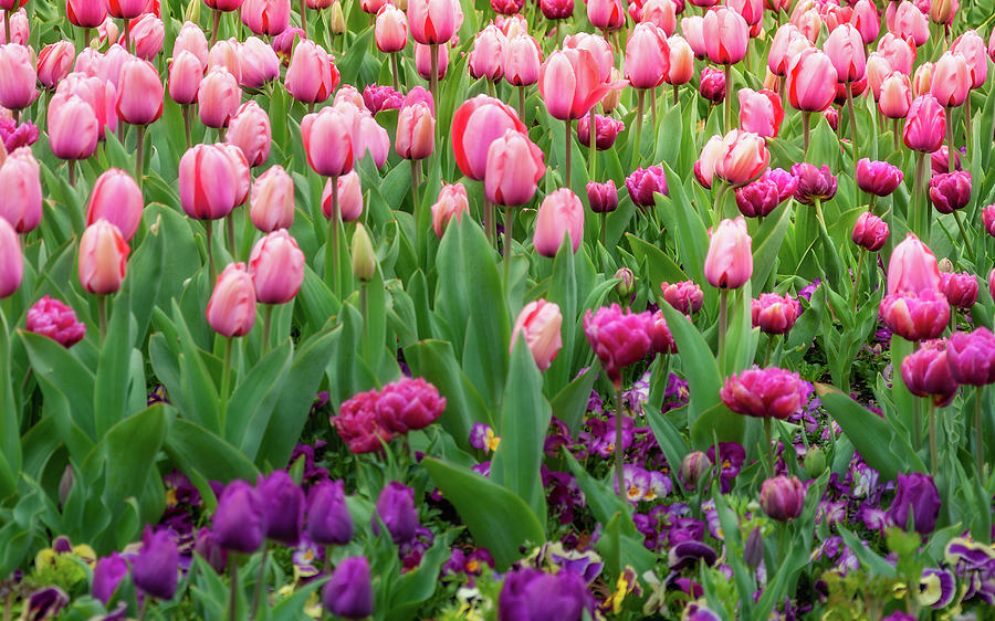 Australia Photograph - Pink And Purple Tulips At The Spring Floriade Festival by Daniela Constantinescu