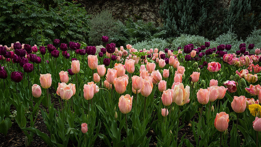 Purple Tulips Photograph - Pink And Purple Tulips by Rick Strobaugh