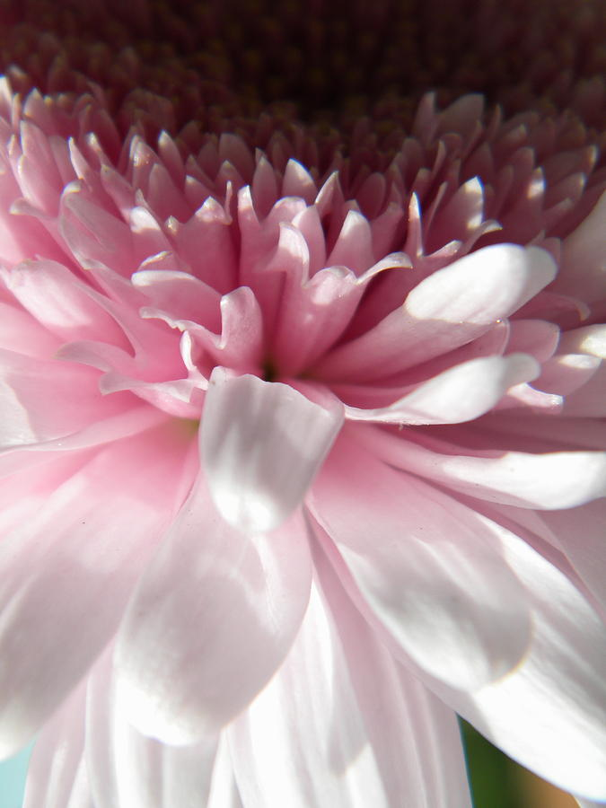Flowers Photograph - Pink And White by Alyona Firth