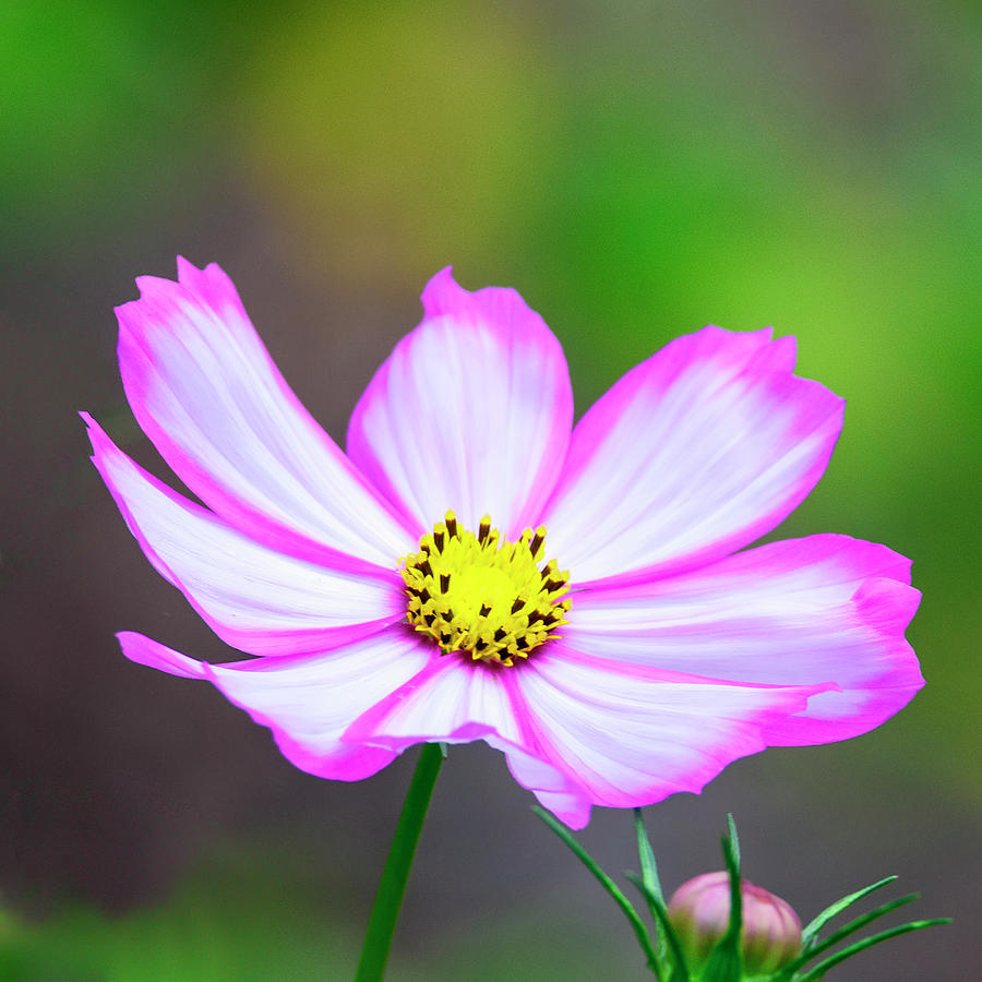 Pink And White Cosmos Flower Photograph By Steve Samples