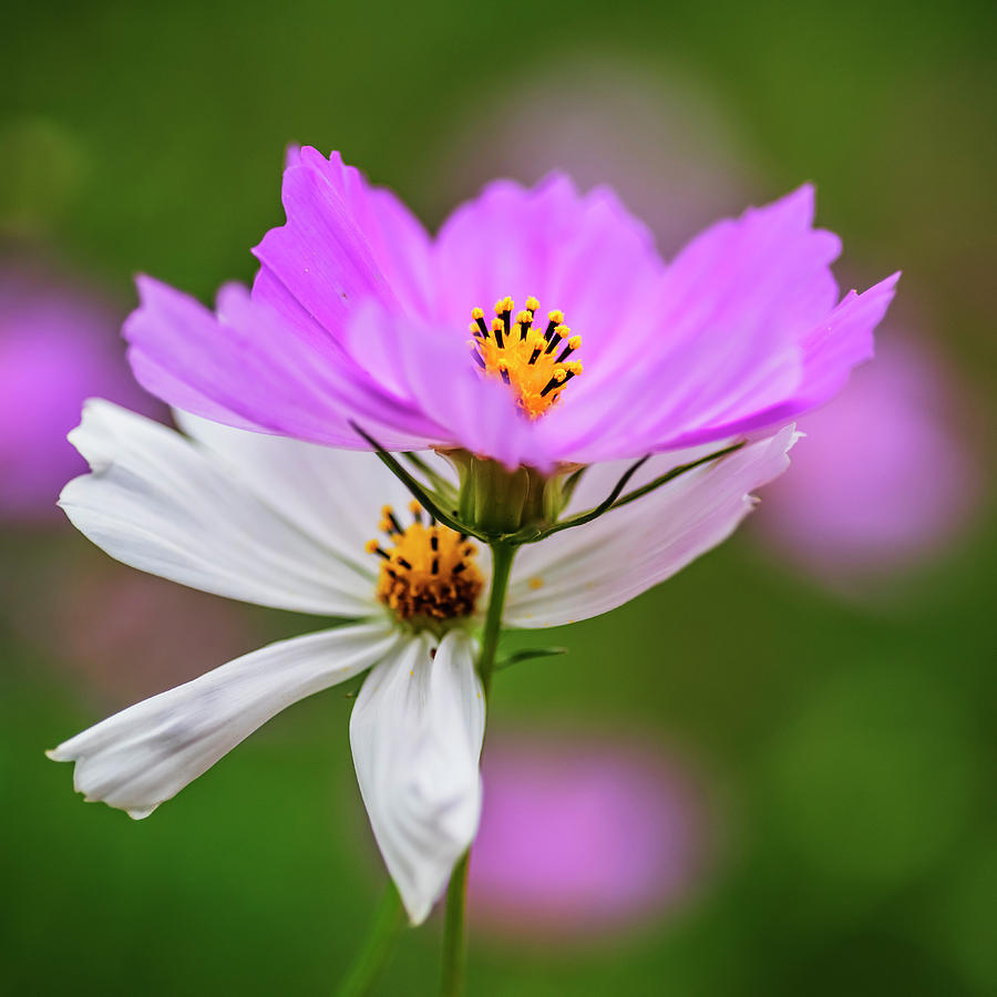 Pink And White Cosmos Flowers Photograph By Vishwanath Bhat