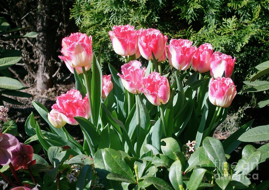 Fringed Tulips Photograph - Pink And White Fringed Tulips by Louise Heusinkveld