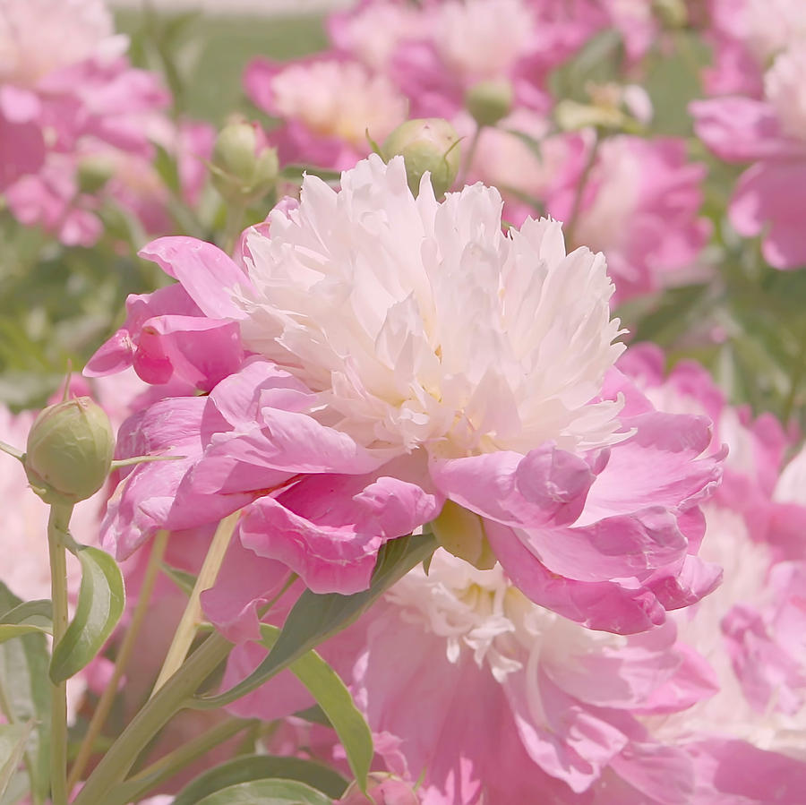 Pink And White Peony Flowers By Kim Hojnacki