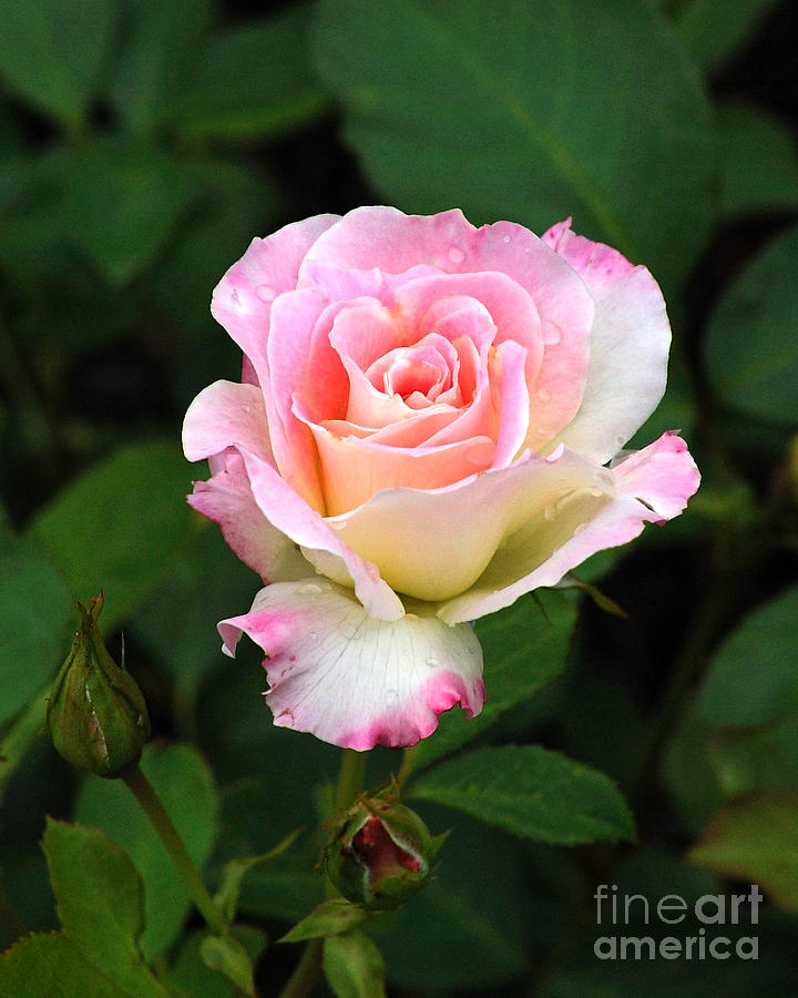 Rose Photograph - Pink And White Rose by Edward Sobuta