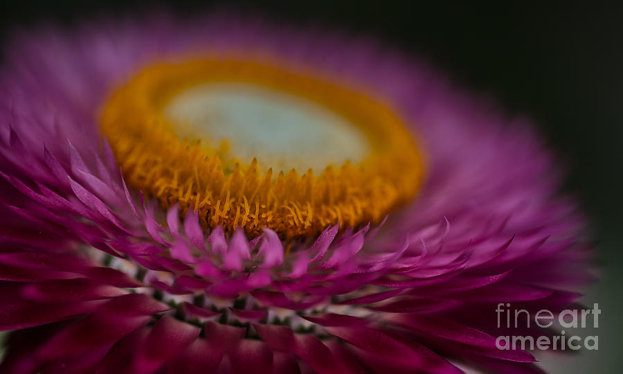 Pink and Yellow Strawflower Close-Up by Em Witherspoon