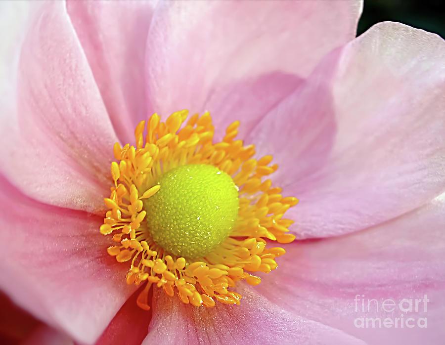 Anemone Photograph - Pink Anemone by Kaye Menner