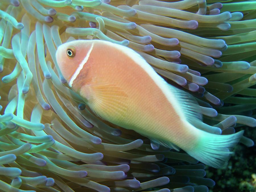 Pink Anenomefish by Brenda Smith DVM