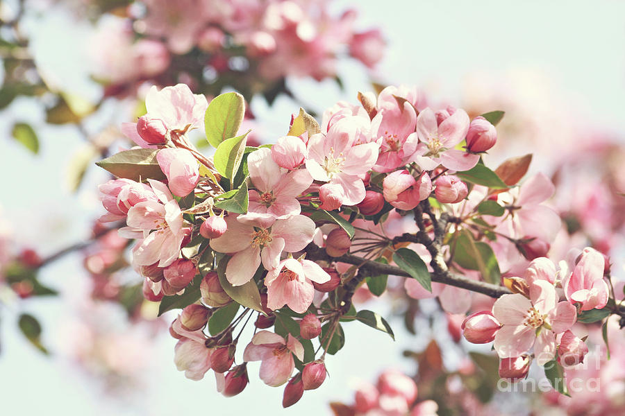 Apple Photograph - Pink Apple Blossoms by Sandra Cunningham
