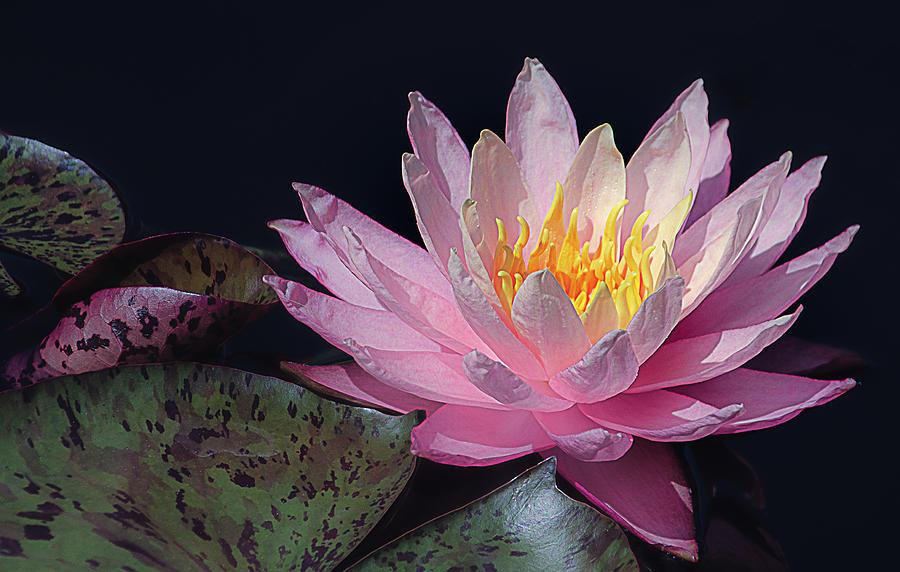Pink Aquatic Beauty by Julie Palencia