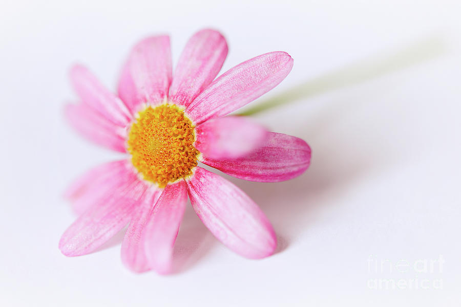 Pink Aster flower II by Nick Biemans