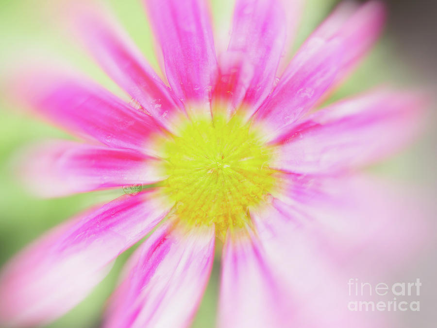Pink Aster Flower With Raindrops Abstract Photograph