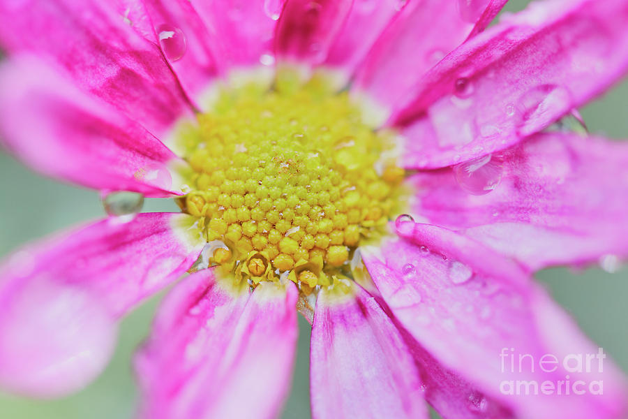 Pink Aster Flower with raindrops by Nick Biemans