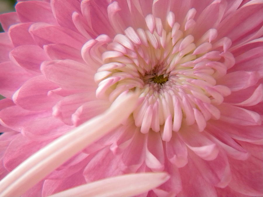 Nature Photograph - Pink Astra by Alyona Firth