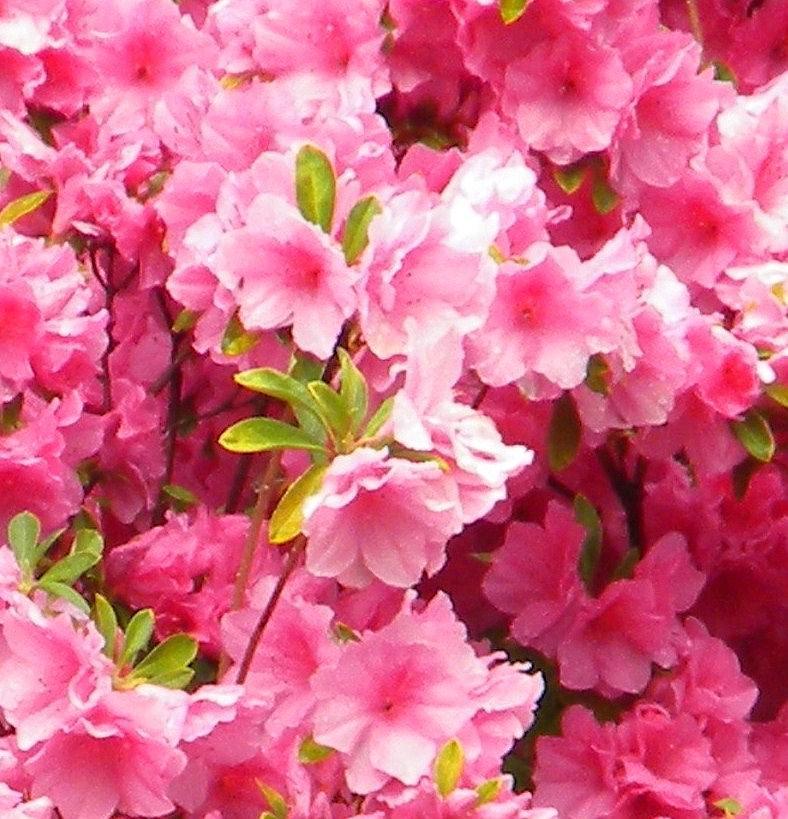 Pink Photograph - Pink Azalea by Cassandra Donnelly