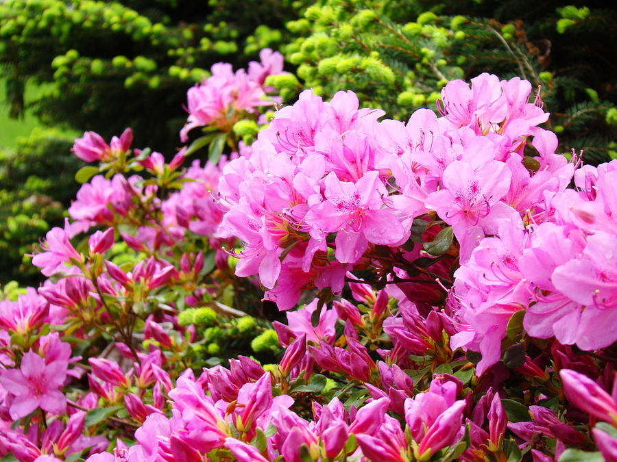 Azaleas Photograph - Pink Azalea Flowers Landscape 11 Art Prints Canvas Artwork Framed Art Cards by Baslee Troutman