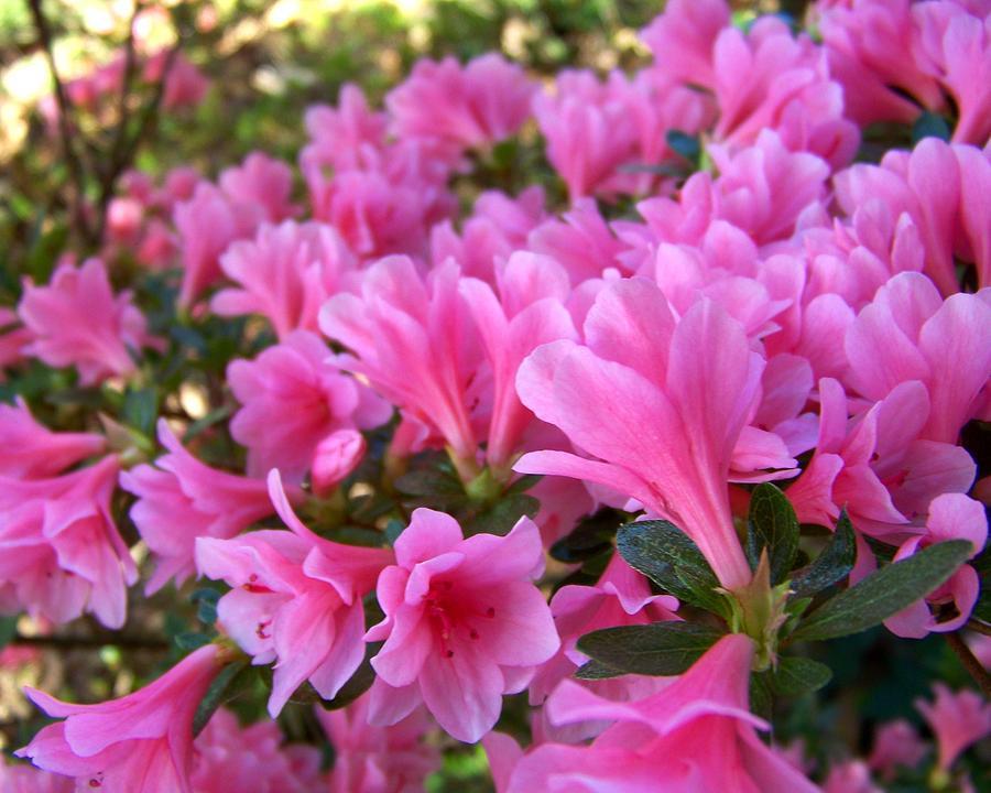 Pink Photograph - Pink Azaleas II by Jai Johnson