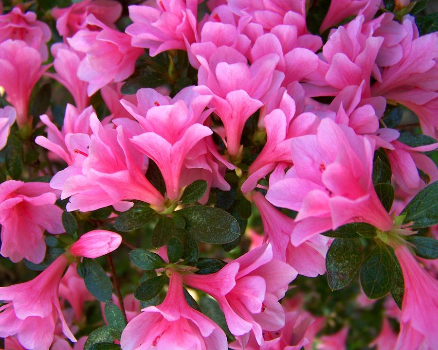 Pink Photograph - Pink Azaleas Iv by Jai Johnson
