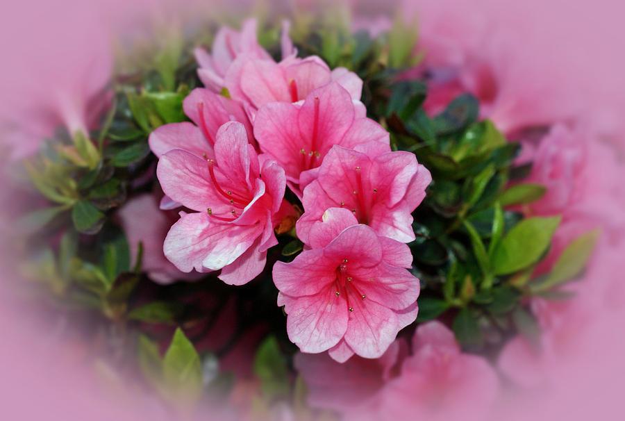 Azaleas Photograph - Pink Azaleas by Sandy Keeton