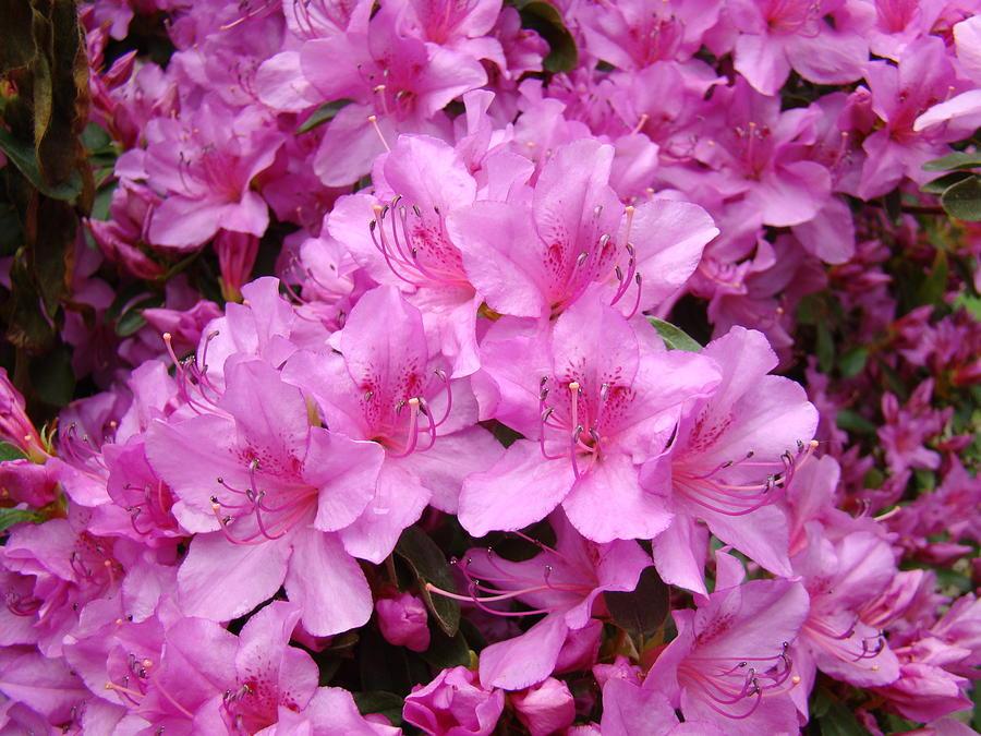 Azaleas Photograph - Pink Azaleas Summer Garden 6 Azalea Flowers Giclee Art Prints Baslee Troutman by Baslee Troutman