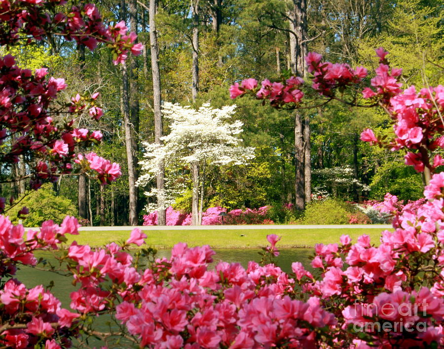 Pink Azaleas White Dogwood Full Bloom Photograph By Charlene Cox