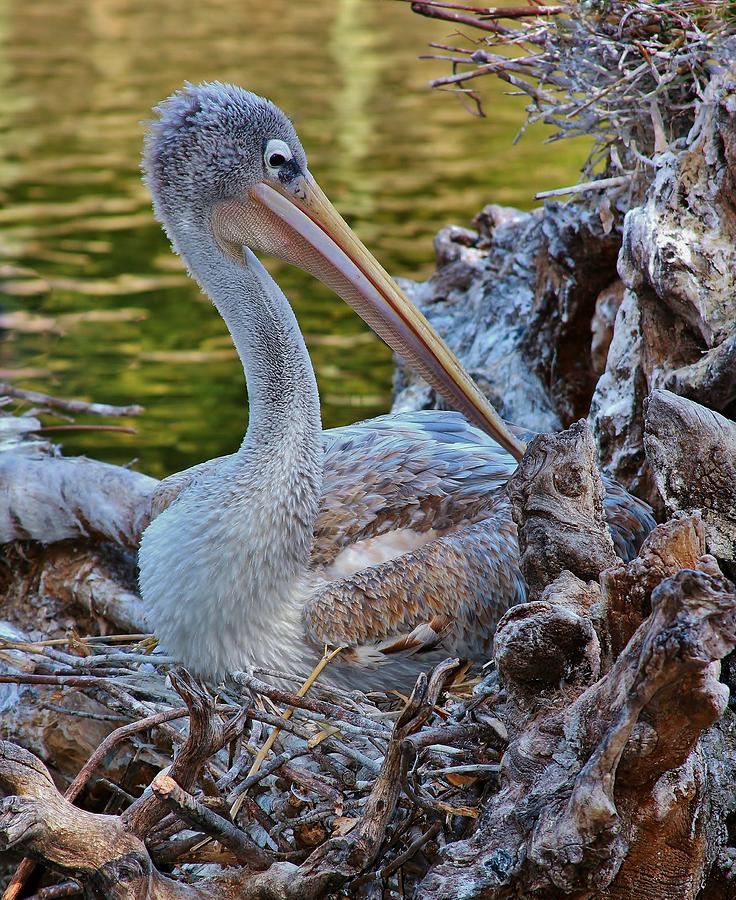 Pink Backed Pelican Photograph