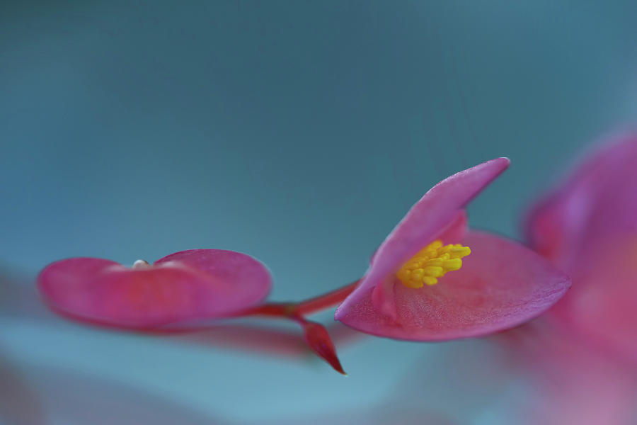 Pink  Begonia by Carol Eade
