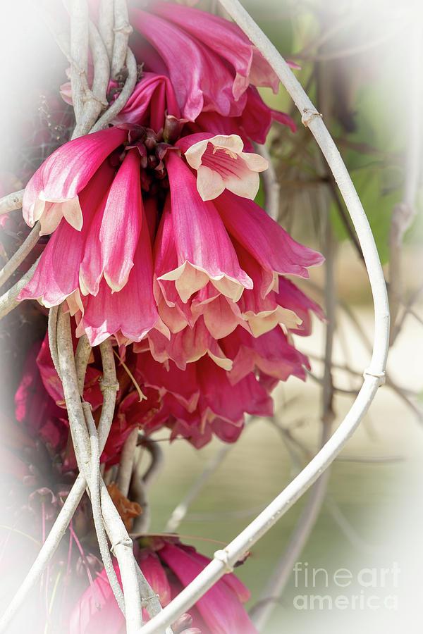 Pink bells photograph by sabrina l ryan spring photograph pink bells by sabrina l ryan mightylinksfo