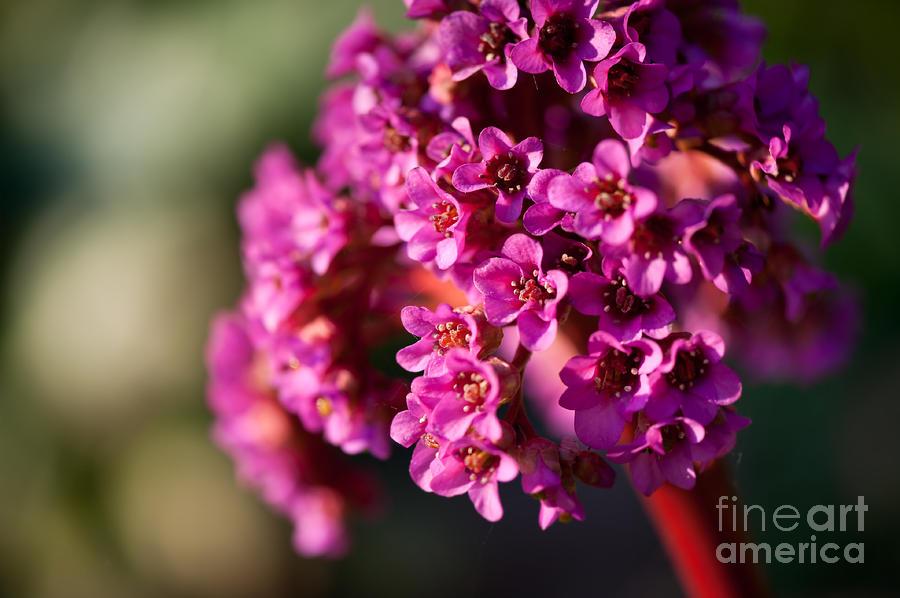 Pink Bergenia Flowering Plant Photograph