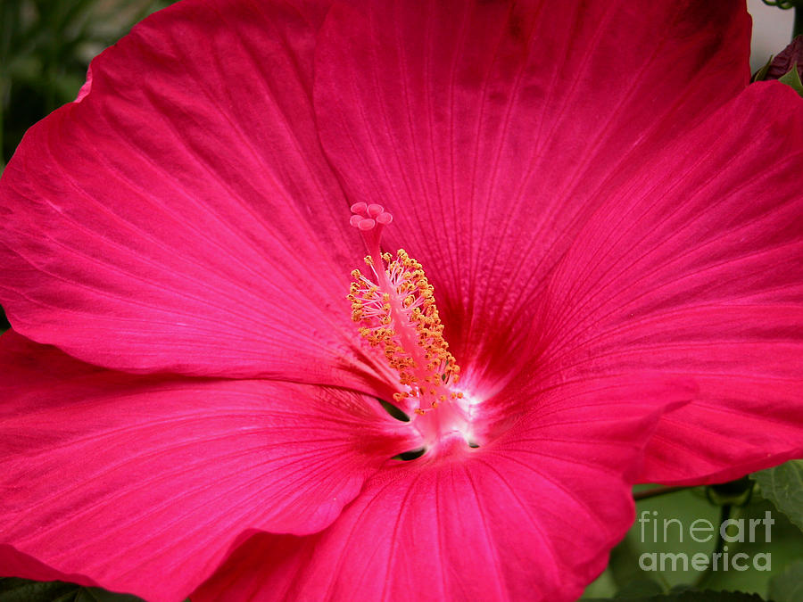 Hibiscus Photograph - Pink Bloomers by Paul Anderson