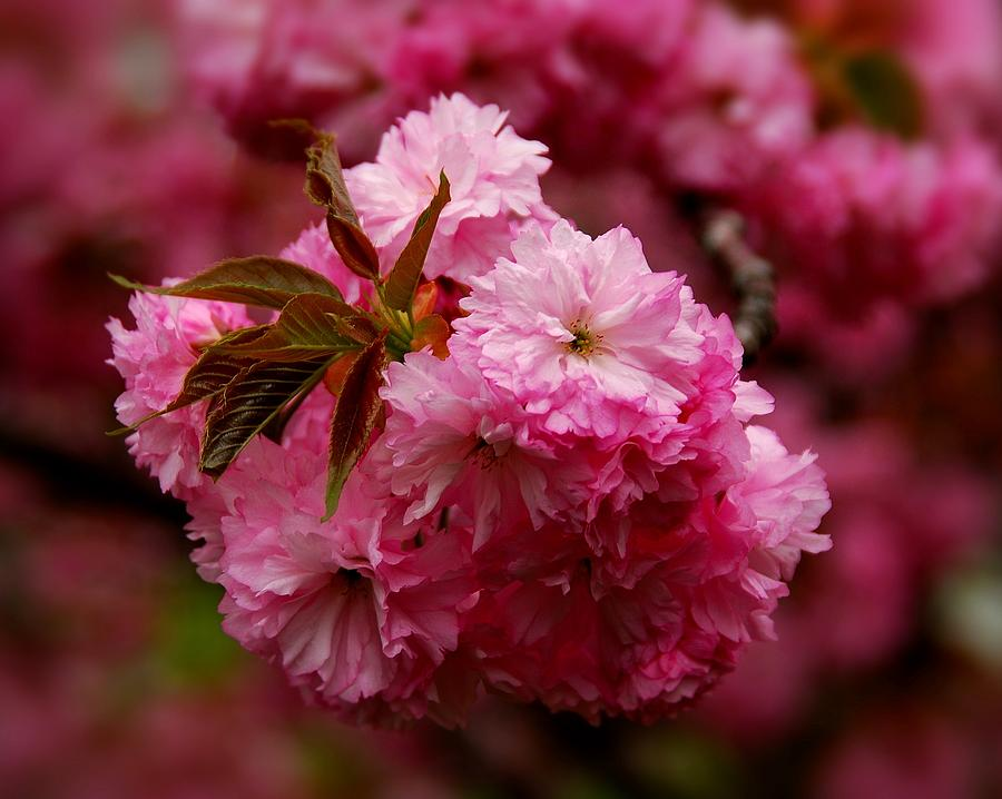 Cherry Blossom Trees Photograph - Pink Blooms by Angie Tirado