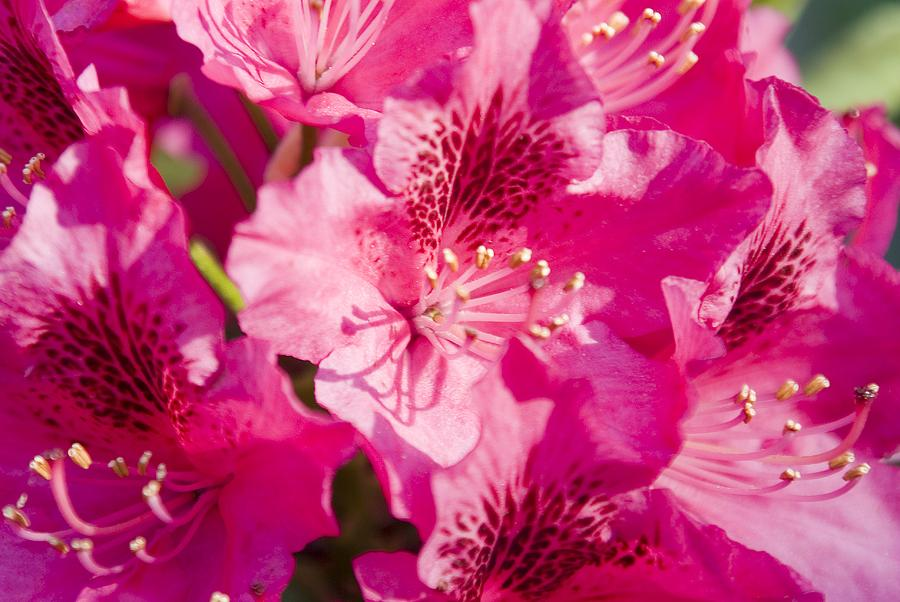 Flower Photograph - Pink Blooms by Steve Kenney