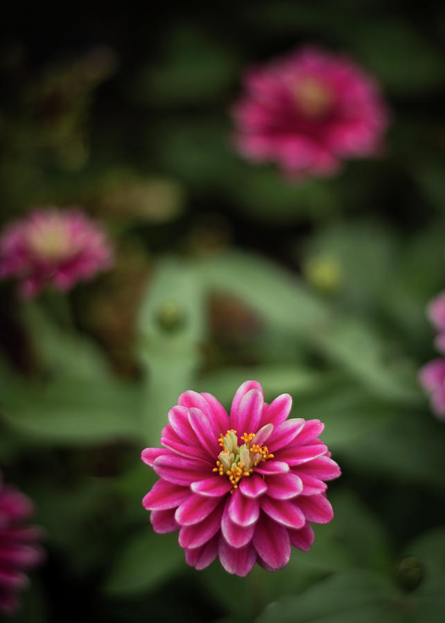 Pink Photograph - Pink Blossom by Amanda Bhakat