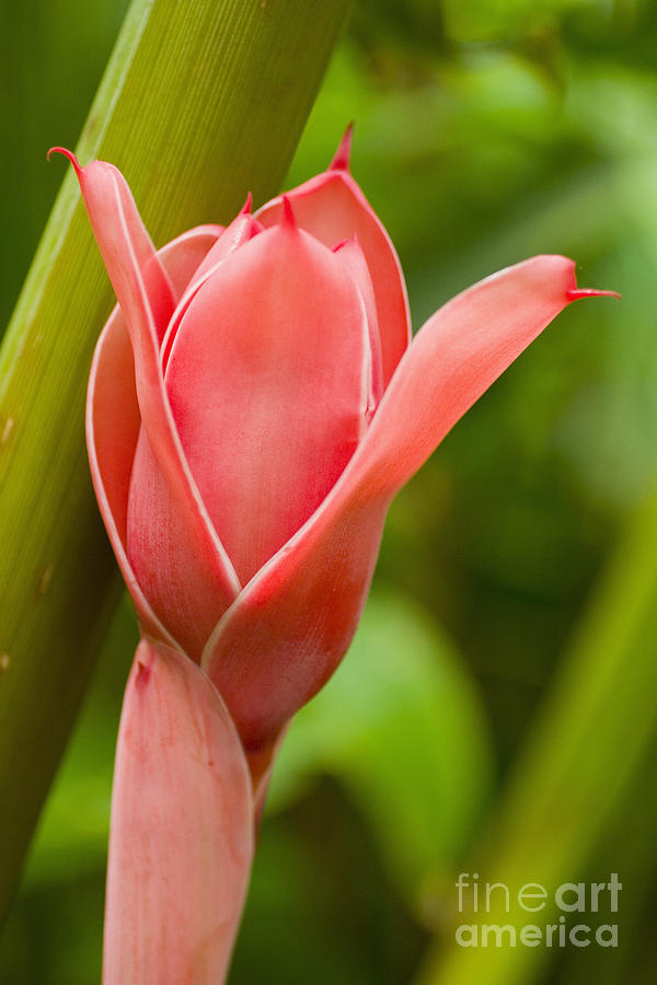 Afternoon Photograph - Pink Blossoming Flower by Tomas del Amo - Printscapes