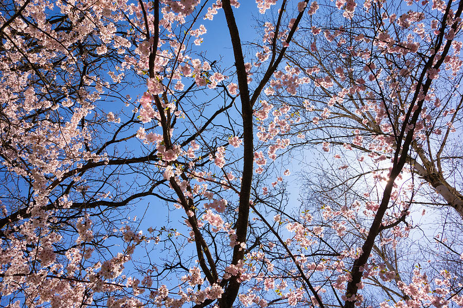 Pink Blossoms And Blue Sky In Spring Photograph