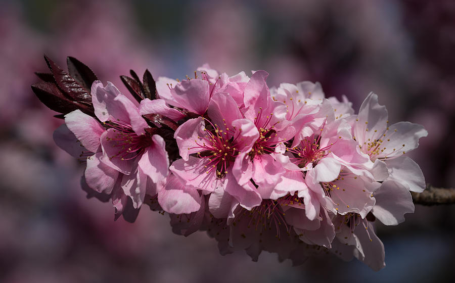 Pink Photograph - Cherry Blossoms by Denise McKay