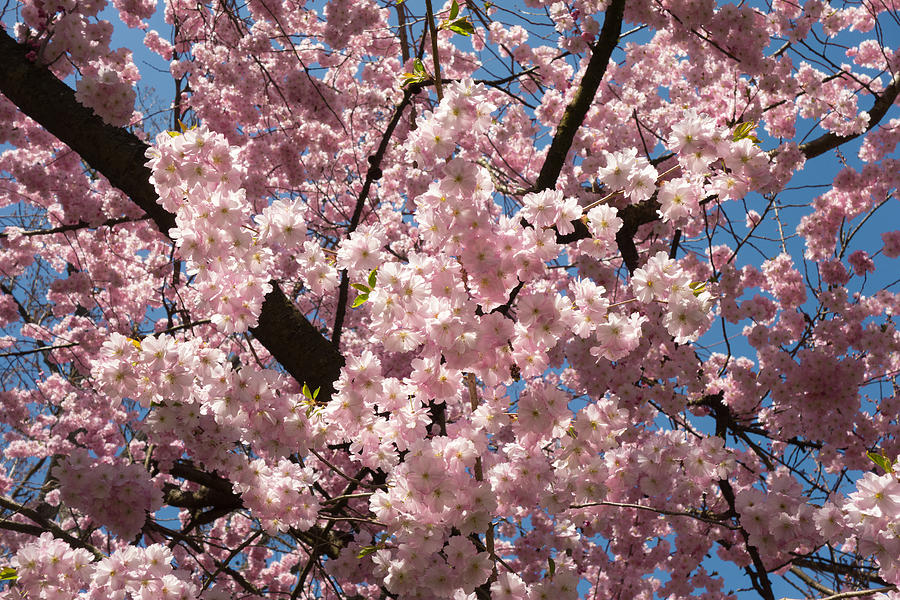 Pink Blossoms In Front Of Blue Sky Photograph