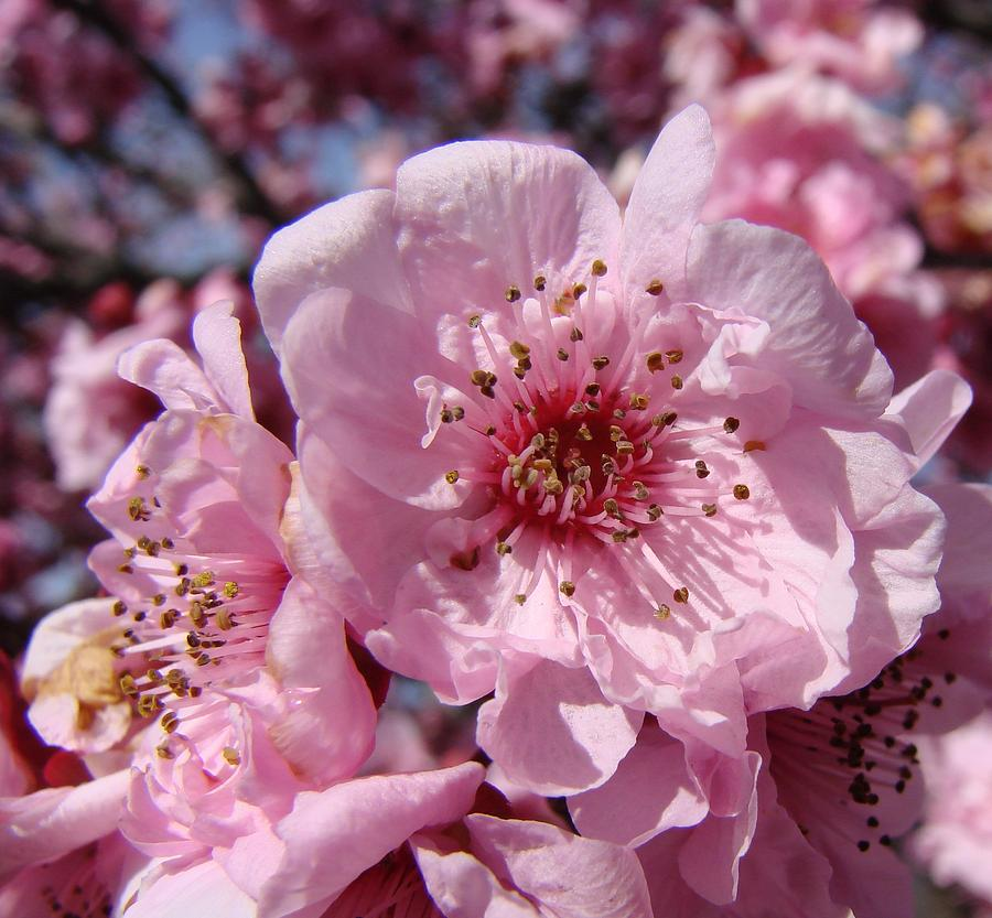 Blossoms Photograph - Pink Blossoms by Liz Vernand
