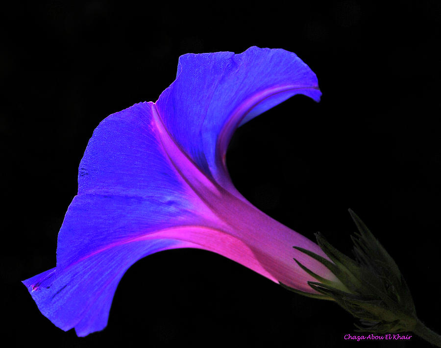Flower Photograph - Pink Blue Flower by Chaza Abou El Khair
