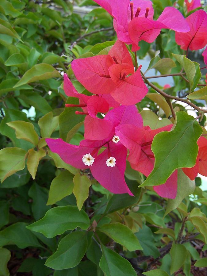 Pink bougainvillea also called paper flower photograph by holly eads bougainvillea photograph pink bougainvillea also called paper flower by holly eads mightylinksfo