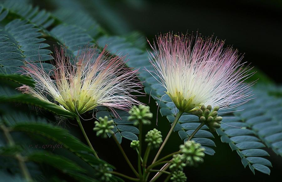 Pink Mimosa Photograph