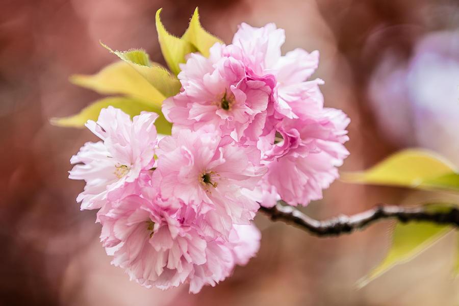 Pink Burst by Karen Saunders