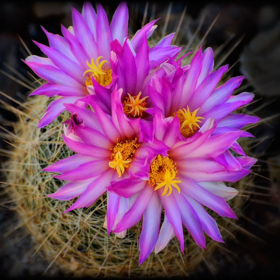 Pink Cactus Flowers Square Photograph By Saija Lehtonen
