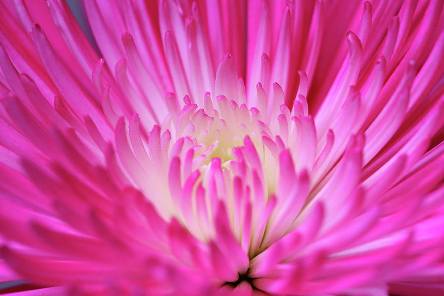 Chrysanthemum Photograph - Pink Cadillac by Judy Vincent
