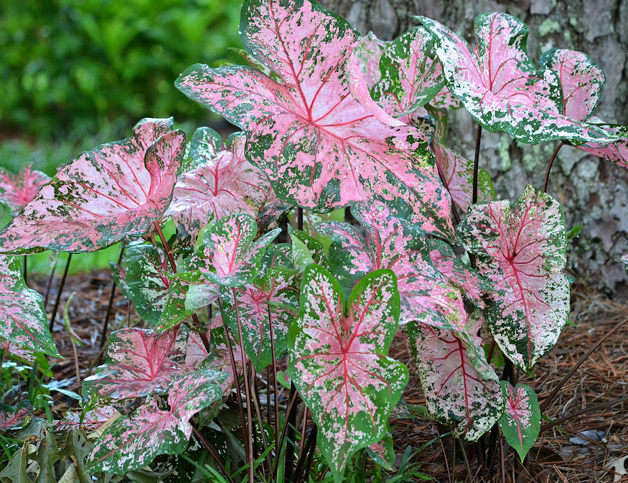 Pink Caladiums Photograph By Rd Erickson